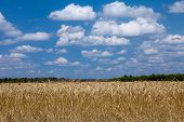 Wheat field blue sky with white