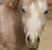 stock photo of dapple-grey  - Dapple gray horse face macro with reddish coat - JPG