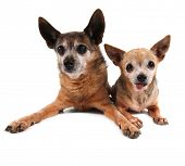 two cute chihuahuas on an isolated white background studio shot