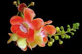 foto of cannonball  - beautiful cannonball tree isolated on black background - JPG