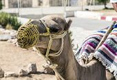 picture of desert animal  - Arabian camel or Dromedary also called a one - JPG