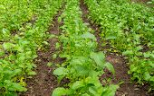 picture of biodiesel  - field with blossoming plant Brassica napus - JPG
