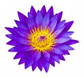 image of semen  - The Purple waterlilly or lotus flower represents one symbol of fortune in Buddhism It grows in muddy water - JPG