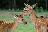stock photo of deer family  - Juvenile Spotted Deer with Mother  - JPG