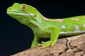picture of omnivore  - The Northland green gecko is a spectacular day gecko species endemic to Northland - JPG