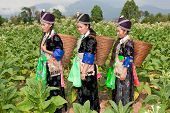 picture of hmong  - Hmong of Asia harvest tobacco - JPG