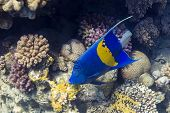 image of angelfish  - Blue Sickle angelfish  - JPG