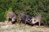foto of wild hog  - Three funny wild hogs in Sardinia, Italy