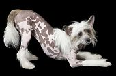 pic of 15 year old  - Hairless Chinese Crested dog 15 years old isolated on black - JPG