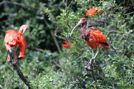 stock photo of scarlet ibis  - Details of a perched scarlet ibis in captivity. ** Note: Visible grain at 100%, best at smaller sizes - JPG