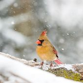 picture of cardinal  - Female Cardinal perched on snow covered branch in snowstorm - JPG