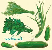picture of cucumber  - Vector illustration with scallions dill parsley cucumbers - JPG