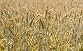 picture of biogas  - Biogas wheat field ready for harvest of a biogas plant - JPG