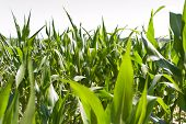 foto of biogas  - Biogas corn field for the harvest of a biogas plant - JPG