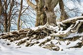 picture of bavaria  - Image of a tree with big roots and snow in winter in Bavaria Germany  - JPG