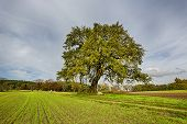 picture of linden-tree  - hdr shoot of a lime tree on a field in autumn - JPG
