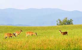 foto of cade  - Wild deer at Cades Cove valley in the Great Smoky Mountains National Park in Tennessee - JPG
