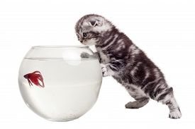 pic of fishbowl  - Curious Scottish fold kitten watching at the goldfish while leaning at the fishbowl - JPG