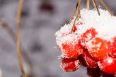 pic of rowan berry  - Close up of red rowan berries with ice crystals winter hoarfrost - JPG