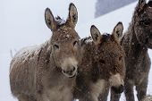 pic of donkey  - donkeys in a paddock over a snowy background - JPG