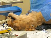 foto of vets surgery  - A lioness on the operating table having surgery - JPG
