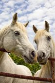foto of arabian horse  - Two beautiful white Arabian horses nose to nose - JPG