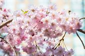 image of ube  - Cherry blossoms or Sakura flowers in full bloom in spring - JPG