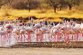 foto of flamingo  - Flamingos near Bogoria Lake Kenya in february 2012 - JPG