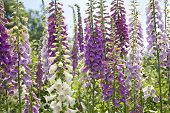 picture of digitalis  - Nature Shot of Purple Colored Foxglove Flowers - JPG