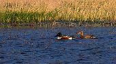 stock photo of duck pond  - Couple of northern shoveler - JPG