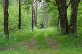 picture of coniferous forest  - The photograph shows the forest - JPG