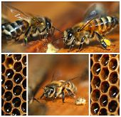 picture of honeycomb  - Beekeeping collage with bees and honeycomb close - JPG