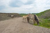 pic of herd horses  - Herd of Konik horses in the wilderness in spring - JPG