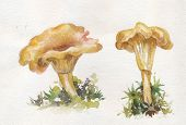 picture of chanterelle mushroom  - illustration chanterelles mushrooms on watercolor paper hand - JPG