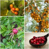 pic of sea-buckthorn  - Collage with hawthorn berries - JPG