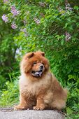 pic of chow-chow  - red chow chow dog outdoors in summer - JPG