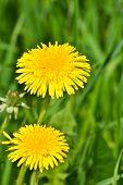 pic of dandelion  - Dandelions in the meadow - JPG