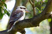 stock photo of kookaburra  - Laughing Kookaburra sitting in a tree - JPG