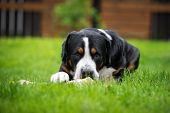 picture of greater  - greater swiss mountain dog lying down outdoors - JPG