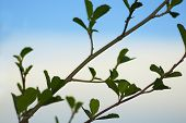 stock photo of alder-tree  - branch of young leaves of alder blossoming out in the spring - JPG