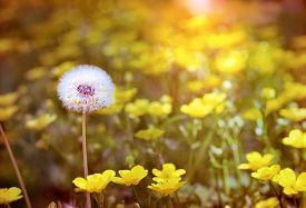 foto of dandelion seed  - Dandelion seeds  - JPG