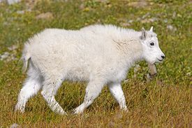 pic of baby goat  - Baby Mountain Goat in an Alpine Meadow near Hidden Lake in Glacier National Park in Montana - JPG
