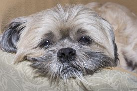 stock photo of heartbreaking  - Closeup of mature Lhasa Apso dog with sad sleepy look in eyes and messy beard - JPG