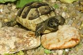 picture of testudo  - juvenile of greek turtle on sand  - JPG