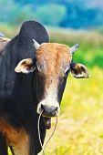 image of zebu  - Domestic cattle zebu - JPG