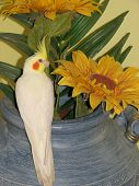 stock photo of cockatiel  - a yellow cockatiel sitting on blue pot with sunflowers - JPG