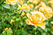 Beautiful Bush Of Yellow Roses In A Spring Garden. Rose Garden. Some Orange Yellow Roses poster