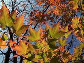 foto of maple tree  - back-lit sugar maple leaves (Acer saccharum) changing in October Eastern Pennsylvania. Selective Focus.