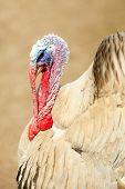 pic of turkey-cock  - Strutting turkey cock walking on farm - JPG