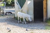 White Donkey At The Zoo. Albino Donkey Closed For Zoo Attraction. poster